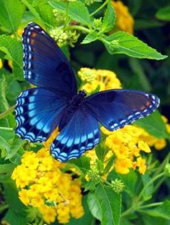 Brilliant Blue Butterfly: Beautiful Butterflies, Blue Butterfly, Color, Flutterby, Butterflies Moth, Flower, Animal