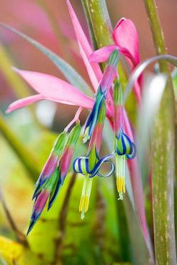 Bromeliad,,, Always amazed at God's creation... I've never seen this combo of colors on one flower before...: Color, Queens, Flora, Beautiful Flowers, Pretty Flower, Garden, Queen S Tears