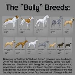 Bully breeds, I love bullies!!  in fact, one of my dogs is a mixed with a bully. and she's part boxer and part lab.: Animals, Dogs, Pet, Bully Breeds, Bullies, Pittie