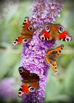 "Butterflies.. A previous pinner helpfully told us, ""Best butterfly plant ever.. Buddleia devidii."" I didn't know that. ;) Mo: Butterfly Bush, Lilac, Butterflies, Butterfly Plant, Garden, Flower"