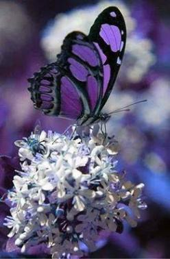 Butterflies are beautiful ... BUTTERFLY HABITS also. Learn more and get the first chapters of this book free of charge at http://www.butterflyhabits.com: Beautiful Butterflies, Purple Butterfly, Flutterby, Flower, Animal