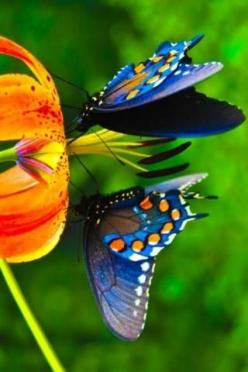 butterflies - butterflies Photo   ...........click here to find out more     http://googydog.com: Beautiful Butterflies, Orange, Nature, Colors, Flower, Animal