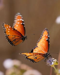 Butterflies RIP Monarch....disappearing from the planet.  :(     they need milkweed and their forest habitat is deforested.: Orange Butterflies, Beautiful Butterflies, Nature, Beauty, Photo, Animal