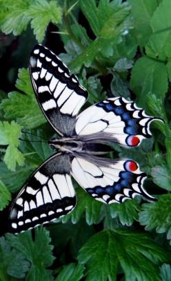 "Butterfly / ""Trabalha como se vivesses para sempre. Ama como se fosses morrer hoje."" (Sêneca): Beautiful Butterflies, Butterfly, Butterflies Dragonflies Moths, Flutterby, Swallowtail Butterfly"