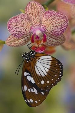 Butterfly and Orchid - by Darrel Gulin Photography: Beautiful Butterflies, Pink Flower, Gulin Photography, Flutterby S