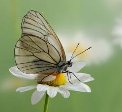 Butterfly : Aporia crataegi, the Black-veined White, sitting on a daisy ... by *dralik on deviantART: Beautiful Butterflies, Beautiful Images, Frases Selebres, Frases Trabajo, Phrases, Photo, Birds