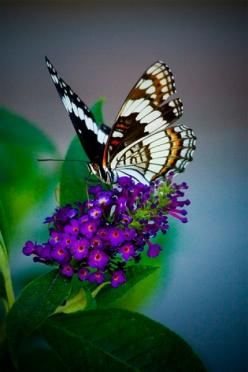 Butterfly bush - lovely scent, plant close to porch or outdoor seating so you can be entertained by all the beautiful butterfies.: Beautiful Butterflies, Butterfly Bush, Flutterby, Garden, Purple Flower