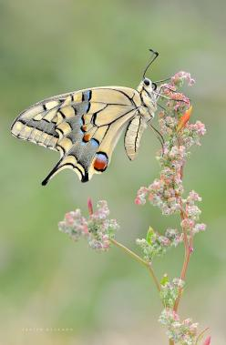 butterfly by Javier Delgado: Beautiful Butterflies, Butterfly, Javier Delgado, Beauty, Photo