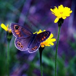 Butterfly is a sign of metamorphosis and transformation...life begins for him crawling upon the earth..struggling to spin a home..and then transformation...fragile and magnificent mini be-ings of incredible beauty..soaring sudden-winged creatures of wind