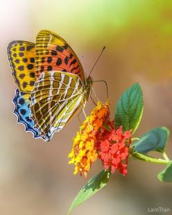 ~~Butterfly on Lantana by Tran Lam~~: Beautiful Butterflies, Butterfly, Color, Tran Lam, Butterflies, Beauty, Flower, Animal