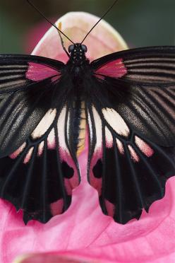 Butterfly - Photo by Richard Verdegaal... could so see this worked into a tat on a back or sholder: Beautiful Butterflies, Color, Animal, Pink Black