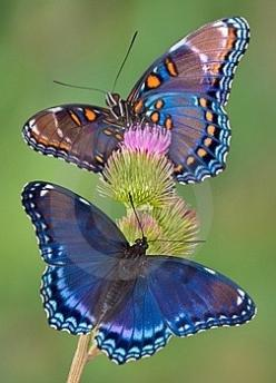 c...blue butterfly #insect #photography get more only on http://freefacebookcovers.net: Beautiful Butterflies, Flutter By, Butterflies Moth, Animal
