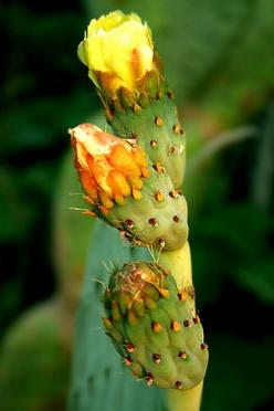 Cactus Blooms --This world is really awesome. The woman who make our chocolate think you're awesome, too. Our flavorful chocolate is organic and fair trade certified. We're Peruvian Chocolate. Order some today on Amazon!http://www.amazon.com/gp/pr