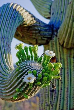 Cactus flower with a twist, literally! Huge desert flowering plants feed the insects. DdO:) MOST POPULAR RE-PINS - http://www.pinterest.com/DianaDeeOsborne/flowers-beyond-expected/ - FLOWERS BEYOND EXPECTED. Towering cacti give shade in the heat to bugs a