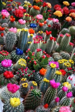 cactus love: Succulent, Cactus Flowers, Nature, Cacti, Color, Beautiful, Plants, Bloom