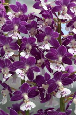 ✯ Calanthe Beautiful gorgeous pretty flowers: Beautiful Gorgeous, Flowers Nature, Calanthe Beautiful, Purple Flowers, Calanthe Orchids, Beautiful Purple, Beautiful Flowers, Pretty Flowers, Garden