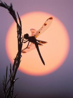 Calico Pennant (Celithemis elisa): Nature, Butterflies, Art, Beautiful, Beauty, Dragonfly, Photography, Dragonflies, Animal