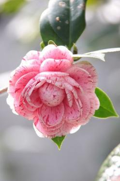 camellia: Camellia, Img 9354茶花, Roses, Beautiful Flowers, Pink, Photo, Garden, Flower, Camellia Flower