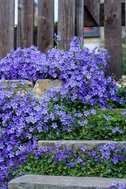 """Campanula: """"All plants in the genus Campanula, which includes our native Harebells (or Bluebells, if you live in Scotland), have edible leaves, some also produce edible roots. Most of them are easily grown in a well-drained soil in sun or semi-shade."""