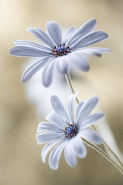 Cape Daisy by Mandy Disher on 500px: Capes, Mandy Disher, Blue, Daisies, Beautiful Flowers, Flowers, Photo, Garden