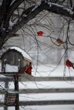 CARDINALS ON A WINTER'S DAY ... <3 ... reminds me of Cincinnati, OH. Cardinal is state bird, and they are beautiful against new fallen snow!: Winter Scene, Feathered Friend, Snow, Beautiful, Winter Wonderland, Favorite Bird, Red Birds, Cardinals