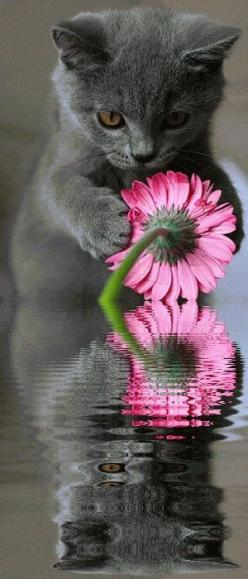 Cat & Flower Reflection: Kitty Cats, Pink Flowers, Animals, Sweet, Grey Kitten, Cats Kittens, Flower Lovers, Flower Reflection