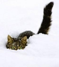 CAT I'm Gonna Getcha!: Cats, Animals, Kitten, Winter, Pets, Snow Cat, Snowcat, Kitties, Kitty