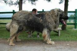Caucasian Shepherd: Huge Dogs, Animals, Caucasian Shepard, Pets, Shepherd Dogs, Caucasian Ovcharka, Big Dogs, Caucasian Shepherd Dog