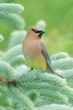 Cedar Waxwing in Blue Spruce: Birds Waxwing, Birdie, Animals Birds, Beautiful Birds, Favorite Bird, Bird Watching