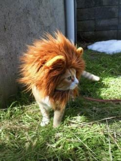 Channeling my big catness: Halloween Costume, Cats, Lion Kitty, Animals, Stuff, Lion Cat, Funny, Lioncat, Things
