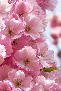 Cherry Blossoms: Spring Blossom, Cherry Tree, Pink Flowers, Pink Blossom, Pretty Pink, Pink Pink, Cherries, Garden, Cherry Blossoms