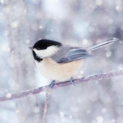 Chickadee in Snow No. 12 - fine art bird photography print by Allison Trentelman: Woodland Animal, Wall Art, Winter Animal, Fine Art, Chickadee, Birds, Bird Photography