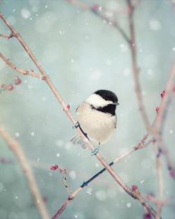 Chickadee in Snow No. 18 - fine art bird photography print by Allison Trentelman | rockytopstudio.com: Large Wall, Fine Art, Bird Prints, Birds, Chickadee, Bird Photography