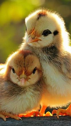 chicks just love. Reminds me of my childhood with our hens and their babies.: Babies, Animals, Sweet, Baby Animal, Birds, Photo, Baby Chicks