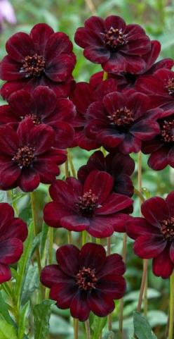 ~~Chocamocha Cosmos ~ fragrant flower | Jacques Briant~~: Deep Red, Flowers Red, Color, Flowers Plants, Beautiful Flowers, Fragrant Flower, Chocamocha Cosmos