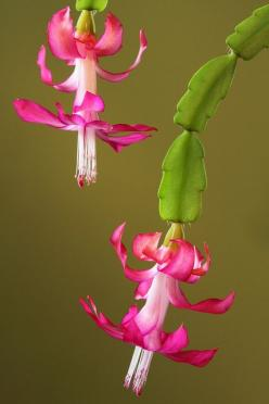 Christmas Cactus Blooms n the northern hemisphere. They flower in early winter in the southern hemisphere.: Flowers Bloom, Cactus Succulentgardens, Cactus Flowers, Cactus Succulents, Christmas Cactus Flower, Beautiful Flowers, Flowers Cactus