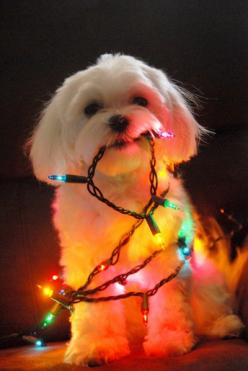 Christmas: Holiday, Dogs, Christmas Animals, Pet, Christmas Lights, Puppy, Christmas Card, Christmas Dog
