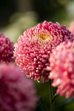 Chrysanthemum symbolize optimism and joy. A symbol of the sun, the Japanese consider the orderly unfolding of the chrysanthemum's petals to represent perfection, and Confucius once suggested they be used as an object of meditation. It's said that a single