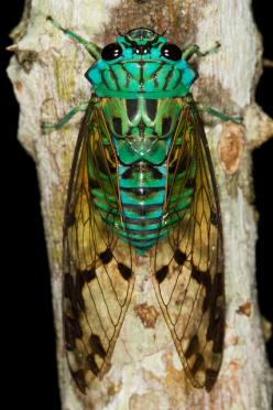 Cicada..... who knew that the sounds that drones us (who live in the right areas of the world) to sleep on hot summer nights, came from a very iridescent bug, (the only evidence is  an outgrown, crinkly, kind of ugly, brown outer shell that it leaves behi