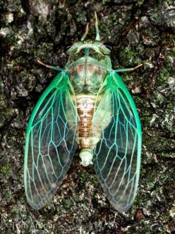 Cicadas always bring me back to my childhood in southeast Texas. A sure sign of the arrival of summer. haufsbeautifulcreatures: love cicadas: Pattern, Insects And Bugs, Cicada, Bugs Insects, Animal