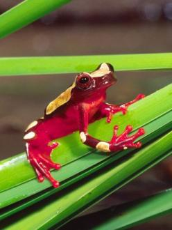 Clown Tree Frog, Native to Surinam, South America ~ By David Northcott: Frogs Frogs, Animals Frogs, Tree Frogs, Amphibians