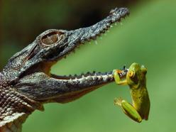 colorful Frog | The 13 Scariest Freshwater Animals in the World -- National Geographic Frog: Thanks Crocodile for helping out of the water. Crocodile: Your very welcome Frog what are friends for.: Photos, Animals, Nature, Crocodiles, National Geographic,