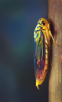 Colourful by Marcel Rodrigues: Bugs Insects Moth, Bugs Photo, Beautiful Bugs, Nature, Beautiful Cicada, Bugslife, Cicada Colors, Amphibians Insects Fish