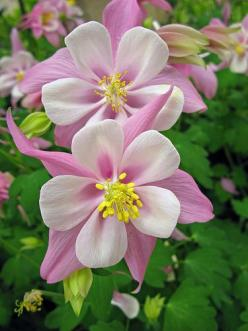 Columbine _ love it, cannot seem to get it to come back year to year like it is natural to do: Pink Flowers, Columbine Flowers, Pretty Flowers, Beautiful Flowers, Double Columbine, Longwood Gardens, Flower, Favorite Flower