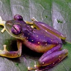 Cool frog - Here we go again with the purple !!! Maybe I was meant to have one ! Bahaha!!!: Purple Van, Purple Frogs, Frogs Purple, Purple Froggie, Animal, Amazing Frogs