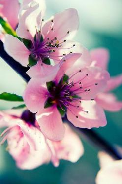coppadge04:Flickrhttp://weheartit.com/entry/1986549: Spring Blossom, Pink Flowers, Pink Blossom, Color, Beautiful Flowers, Flowers, Garden, Flower, Cherry Blossoms