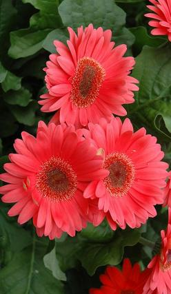 ~~Coral Gerbera Daisy | features bold coral-pink daisy flowers with yellow eyes at the ends of the stems from early summer to mid fall | Shelmerdine~~: Gerber Daisies, Gerbera Daisies, Color, Gerbera Daisy, Beautiful Flowers, Flowers, Favorite Flower