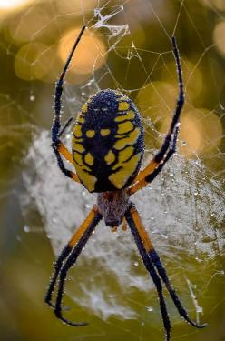 Corn Spider. These are beautiful spiders. Very hard to see when working in the garden. And they're big too...: Beautiful Spiders, Natural Bugs Insects, Corn Spider We, Corn Spider Wow, Eek Spiders, Spiders Eeeh, Lemon Spiders, Animals Insect S