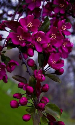 crab-apple blossoms: Purple, Color, Flowers Plants, Beautiful Flowers, Flowers, Apple Blossoms, Flowers Garden, Crab Apples