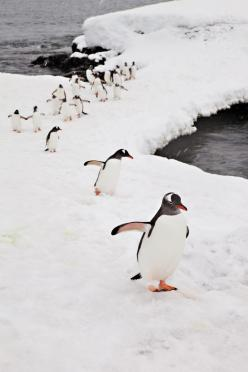 : Creature, Penguins Penguins, Birds, Penguins 3, Penguin March, Penguins Animals